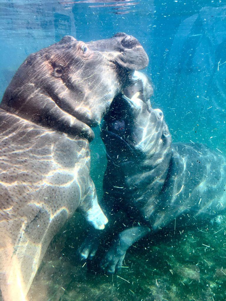 beauval hippopotames