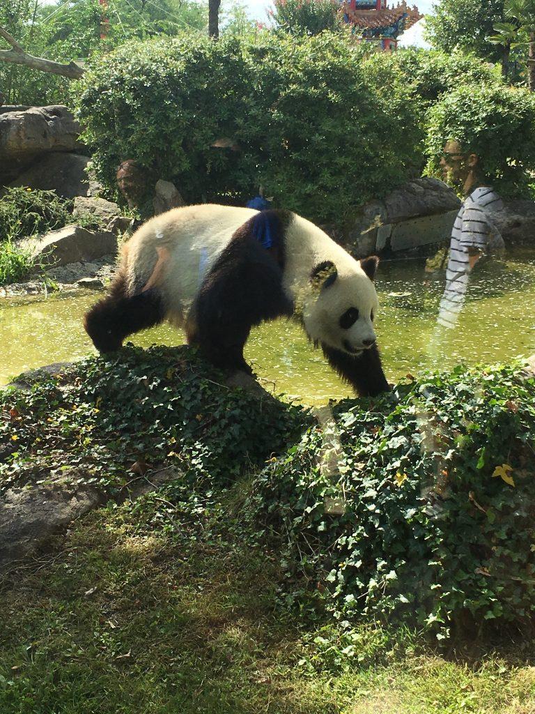 beauval panda