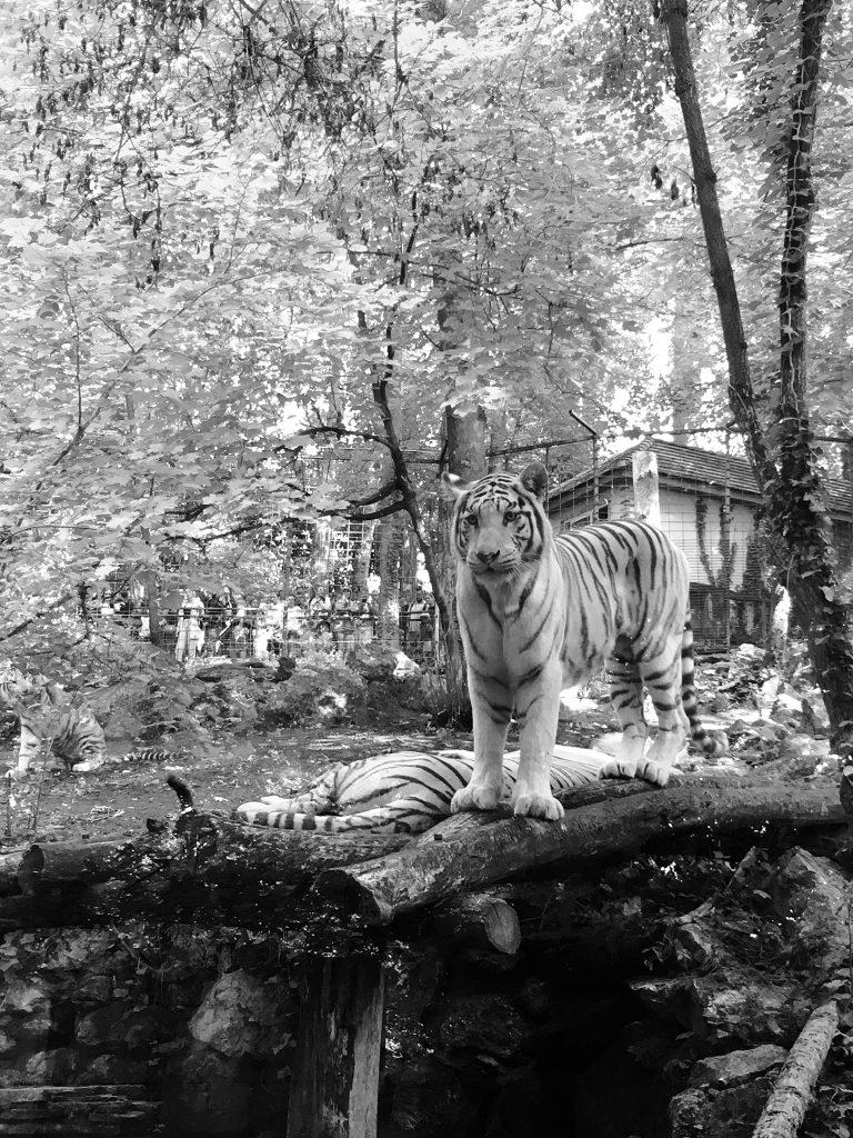 beauval tigre blanc
